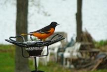 oriel bird at feeder