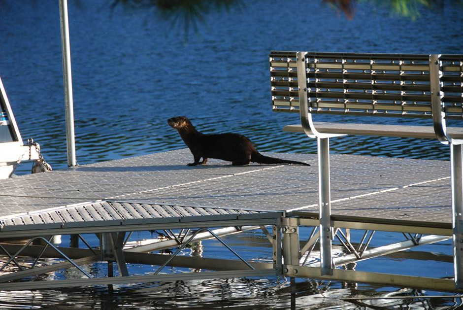 otters on dock